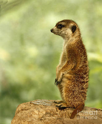 Curious Meerkat Art Print by Inspired Nature Photography Fine Art Photography