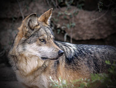 All American - Curious Mexican Grey Wolf by Elaine Malott