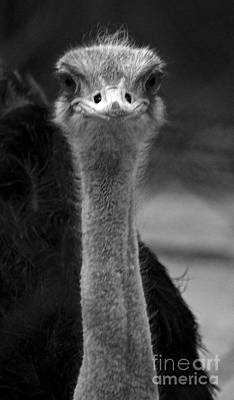 Photograph - Curious Ostrich by Louise Fahy