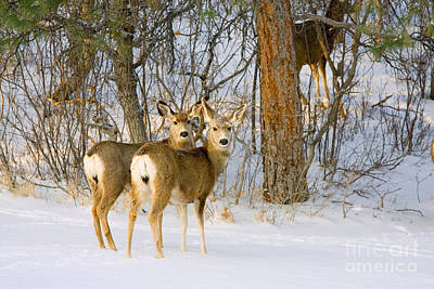 Steven Krull Royalty-Free and Rights-Managed Images - Curious pair of Mule Deer in Snow by Steven Krull