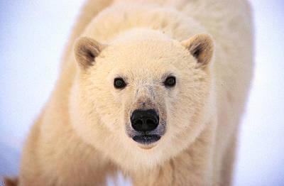 Photograph - Curious Polar Bear by Randy Green