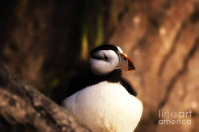 Photograph - Curious Puffin by Julie Clements