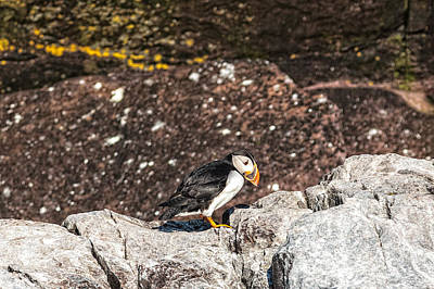 Photograph - Curious Puffin by Perla Copernik