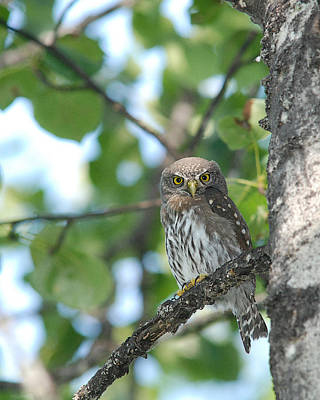 Photograph - Curious Pygmy Owl by Jan Piet