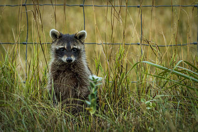 Photograph - Curious Raccoon by Scott Bean