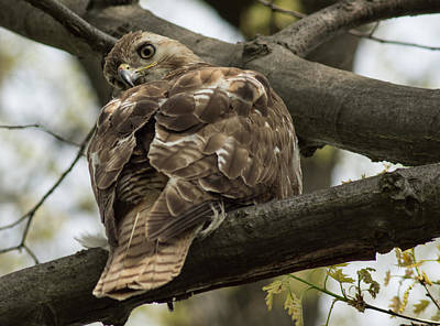 Photograph - Curious Red Tail Hawk In The Spring Forest by Georgia Mizuleva