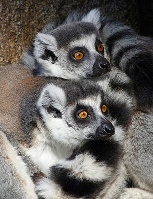 Photograph - Curious Ring-tailed Lemur Friends by Margaret Saheed
