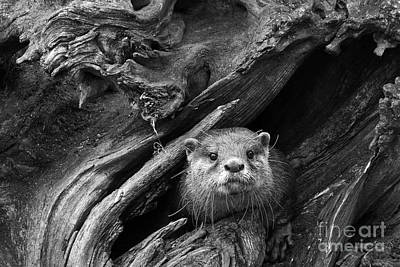 Art Print featuring the photograph Curious River Otter by Inge Riis McDonald