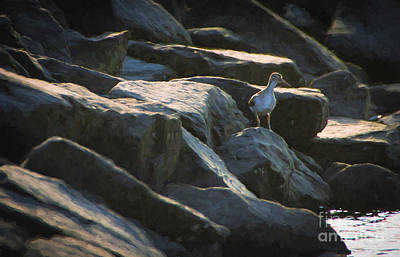 Sandpipers Painting - Curious Sandpiper by Heidi Piccerelli