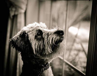 Curious Schnoodle Art Print by Jon Woodhams