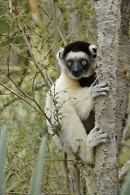 Photograph - Curious Sifaka 1 by Michele Burgess