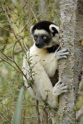 Photograph - Curious Sifaka 2 by Michele Burgess