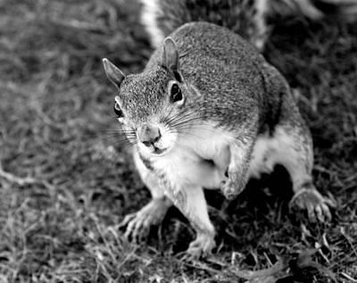 Comedian Drawings - Curious Squirrel II by Aurelio Zucco