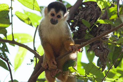 Costa Rica Photograph - Curious Squirrel Monkey 2 by Natural Focal Point Photography