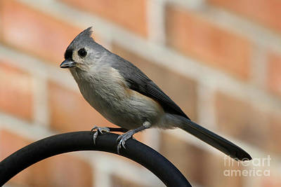 Tufted Titmouse Photograph - Curious Titmouse by Heidi Piccerelli