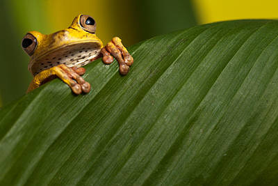 Frogs Photograph - Curious Tree Frog by Dirk Ercken