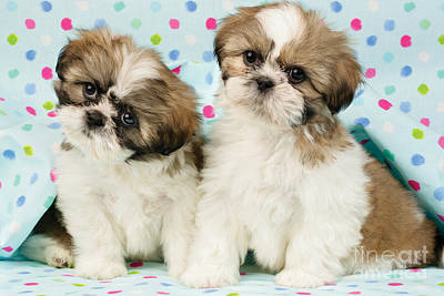 Shih Tzu Digital Art - Curious Twins by Greg Cuddiford