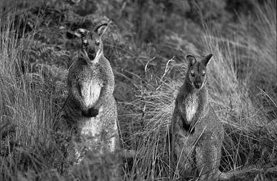 Photograph - Curious Wallabies by Sean Davey