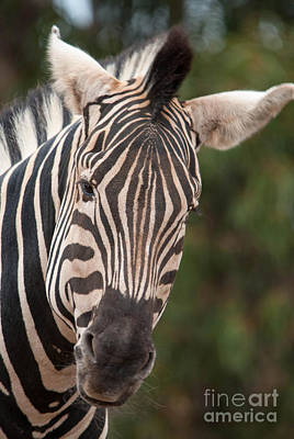Photograph - Curious Zebra by Ray Warren