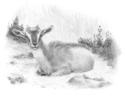 Mountain Goat Drawing - Curiousity by Diane Cardaci