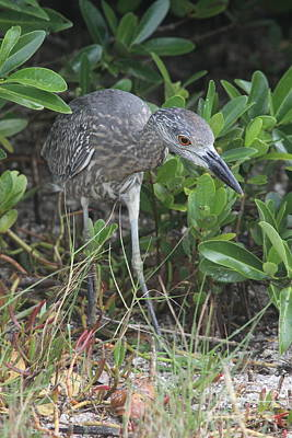 Juvenile Wall Decor Photograph - Curiously Night Heron Chick by Christiane Schulze Art And Photography