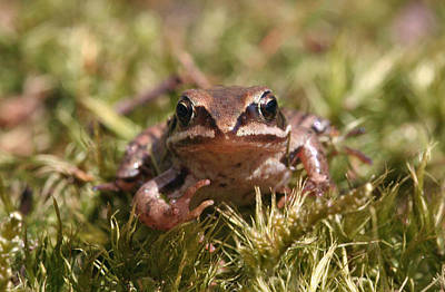Photograph - Curius Frog by Dreamland Media