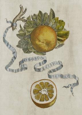 Seventeenth Century Painting - Curled Leaf Orange by Cornelis Bloemaert