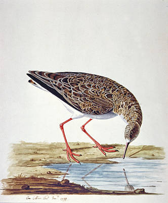 Sandpiper Painting - Curlew Sandpiper by Charles Collins