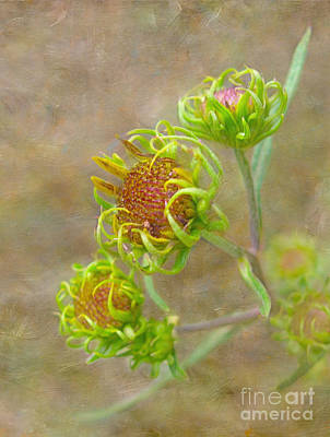 Photograph - Curly Buds by Judi Bagwell