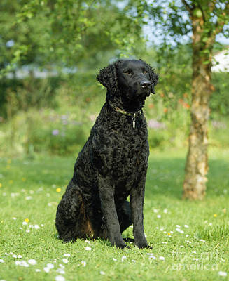 Id Tag Photograph - Curly-coated Retriever by Jean-Paul Ferrero