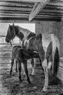 Photograph - Curly Horse And Nursing Foal by Bianca Nadeau