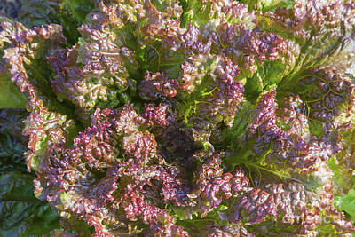 Photograph - Curly Red Lettuce by Diane Macdonald