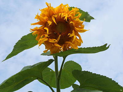 Photograph - Curly Sue Sunflower by Diannah Lynch