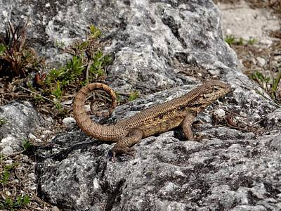 Photograph - Curly Tailed Lizard by Keith Stokes