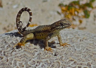 Photograph - Curly-tailed Lizard  by Kit Kat