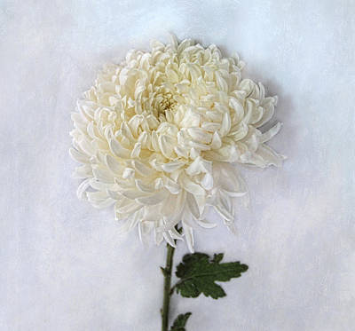 Photograph - Curly White Mum by Louise Kumpf