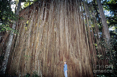 Curtain Fig, Australia Print by Gregory G. Dimijian, M.D.