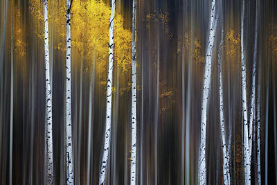 Birch Photograph - Curtain Of Fall by Andy Hu