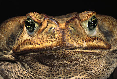 Bufonidae Photograph - Cururu Toad Face Brazil by Pete Oxford