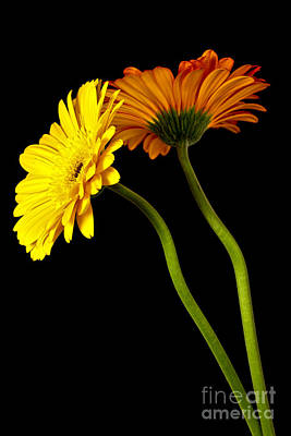 Curvaceous Daisies Art Print by Pattie Calfy