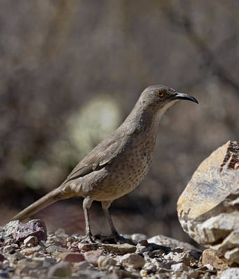 Photograph - Curve Billed Thrasher by Gregory Scott