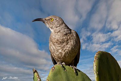 Curve-billed Thrasher On A Prickly Pear Cactus Art Print by Jeff Goulden