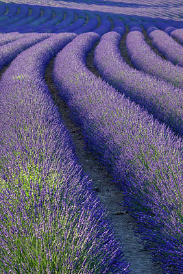 Photograph - Curvy Lavender Field Near Roussillon In by Danita Delimont