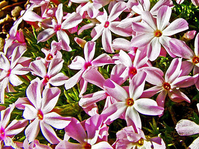 Cushion Phlox Between Pima Point And Hermit's Rest In Grand Canyon National Park-arizona Original