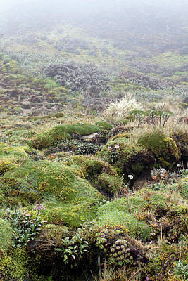 Andean Photograph - Cushion Plants On Misty Paramo by Dr Morley Read
