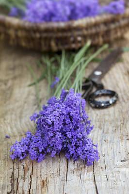 Cut Lavender Art Print by Tim Gainey