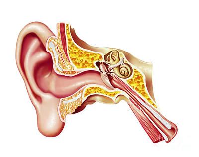 Cutaway Diagram Of Human Ear Art Print by Leonello Calvetti