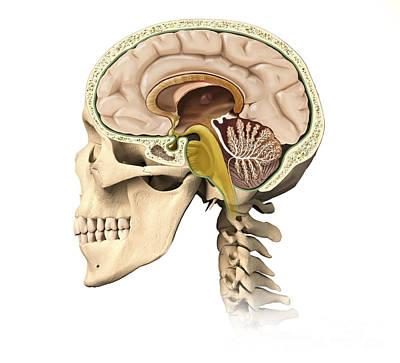 Human Brain Digital Art - Cutaway View Of Human Skull Showing by Leonello Calvetti