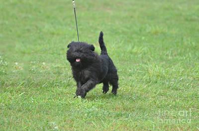 Affenpinscher Photograph - Cute Affenpinscher Dog by DejaVu Designs