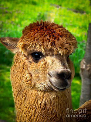 Poncho Photograph - Cute Alpaca by Robert Bales